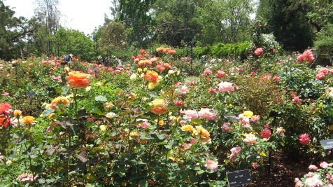 Huntington Rose Garden DSCF1102
