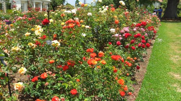 Huntington Rose Garden DSCF1119