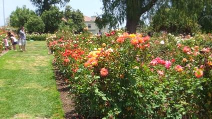 Huntington Rose Garden DSCF1156