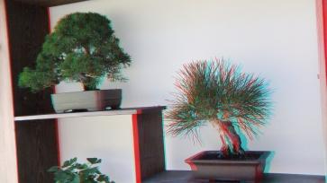 Huntington Bonsai Garden 3DA 1080p DSCF2278