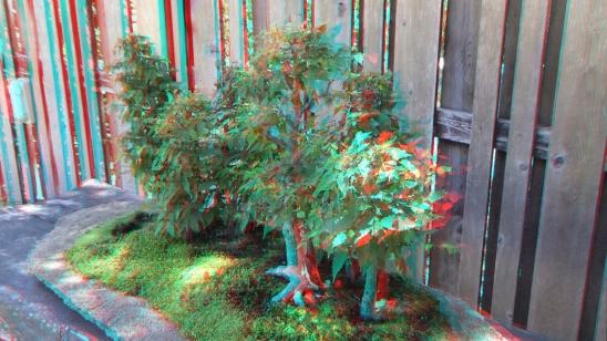 Huntington Bonsai Garden 3DA 1080p DSCF2283