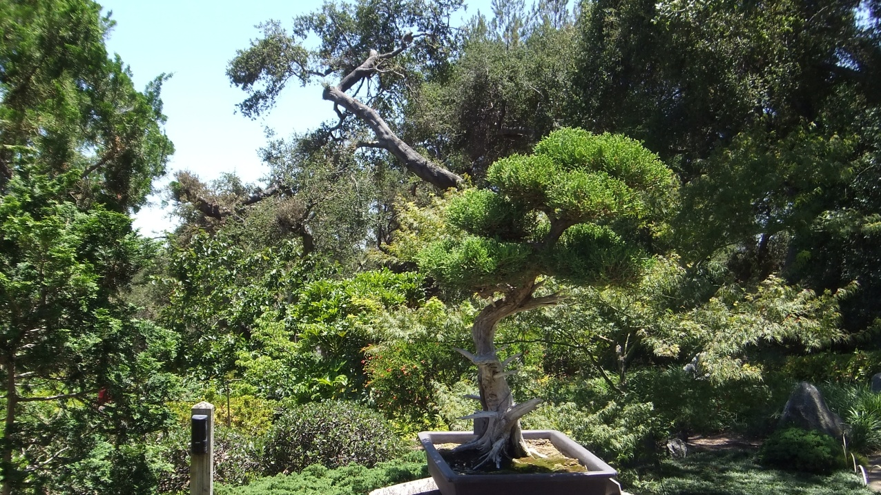 Huntington Bonsai Garden DSCF2234