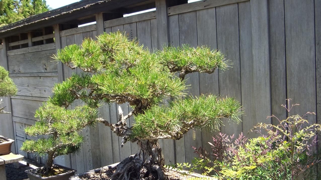 Huntington Bonsai Garden DSCF2243