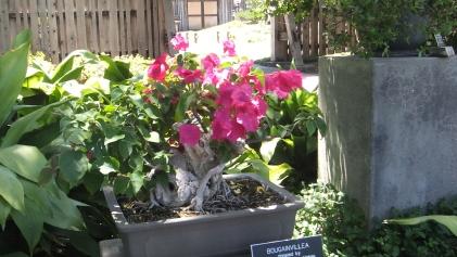 Huntington Bonsai Garden DSCF2249