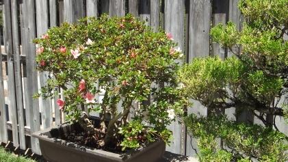 Huntington Bonsai Garden DSCF2255