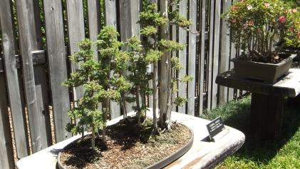 Huntington Bonsai Garden DSCF2256
