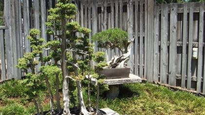 Huntington Bonsai Garden DSCF2260