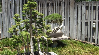 Huntington Bonsai Garden DSCF2260