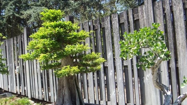 Huntington Bonsai Garden DSCF2262