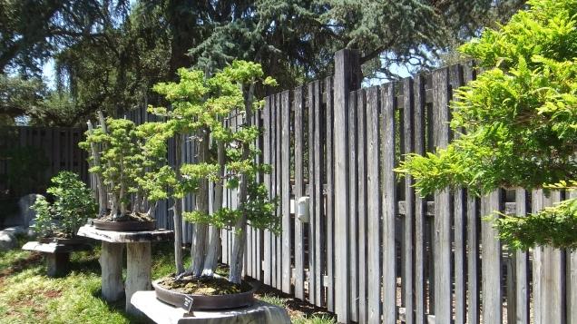 Huntington Bonsai Garden DSCF2264