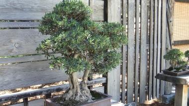 Huntington Bonsai Garden DSCF2272
