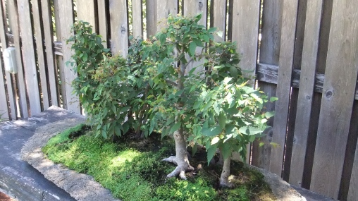 Huntington Bonsai Garden DSCF2283