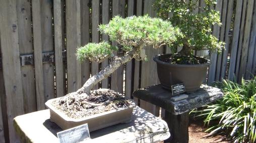 Huntington Bonsai Garden DSCF2284