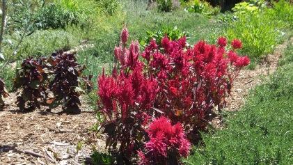 Huntington Herb Garden DSCF2374