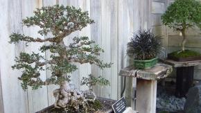 Huntington Bonsai Garden DSCF7728