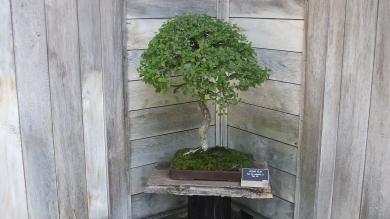 Huntington Bonsai Garden DSCF7730