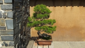 Huntington Bonsai Garden DSCF7740