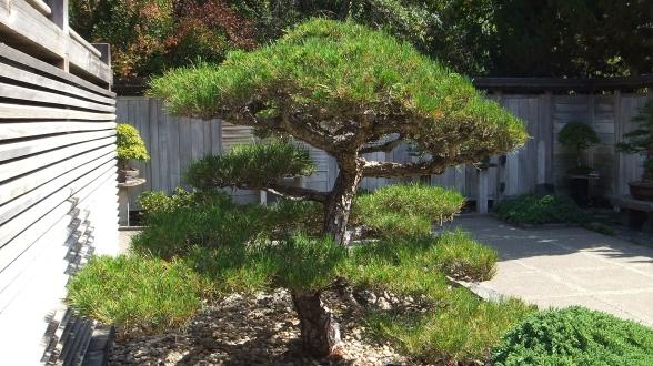 Huntington Bonsai Garden DSCF7741