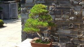 Huntington Bonsai Garden DSCF7744