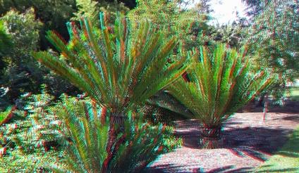 Huntington Cycad Garden 3DA 1080p DSCF7511