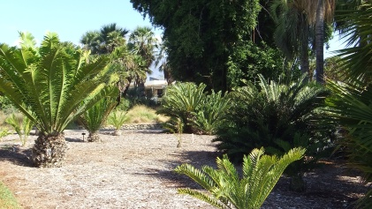 Huntington Cycad Garden DSCF7501