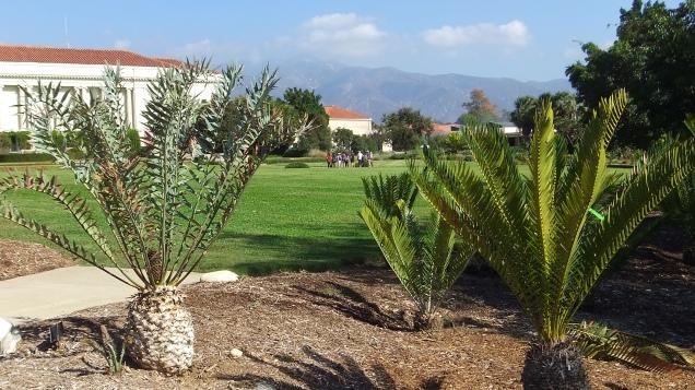 Huntington Cycad Garden DSCF7527