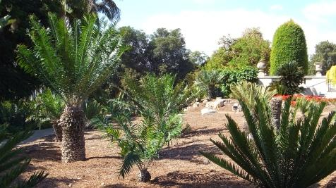 Huntington Cycad Garden DSCF7530