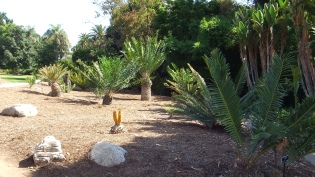 Huntington Cycad Garden DSCF7546
