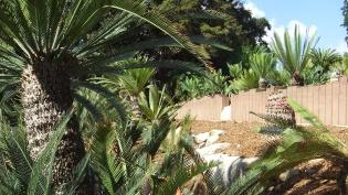 Huntington Cycad Garden DSCF7588