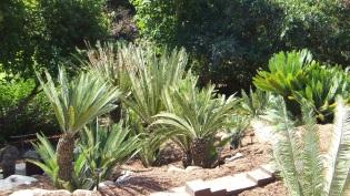 Huntington Cycad Garden DSCF7592