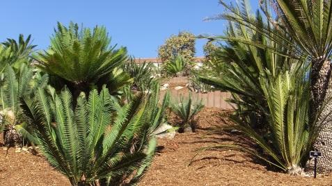 Huntington Cycad Garden DSCF7673