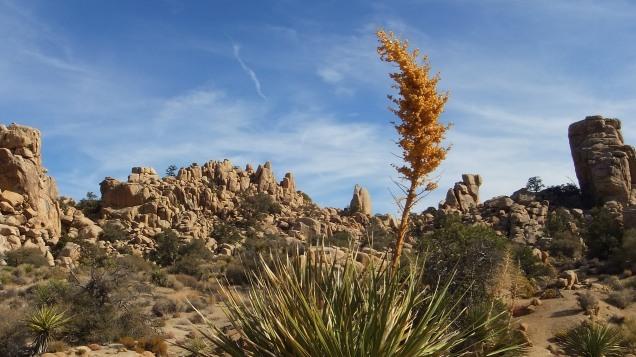 Hidden Valley, December 2012, sun-dried nolina stalk